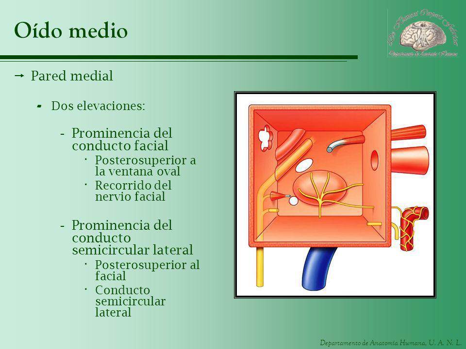 Departamento de Anatomía Humana, U. A. N. L. Oído medio Pared medial - Dos elevaciones: -Prominencia del conducto facial · Posterosuperior a la ventan