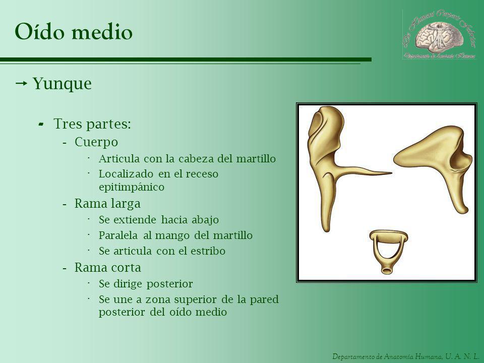 Departamento de Anatomía Humana, U. A. N. L. Oído medio Yunque - Tres partes: -Cuerpo · Articula con la cabeza del martillo · Localizado en el receso