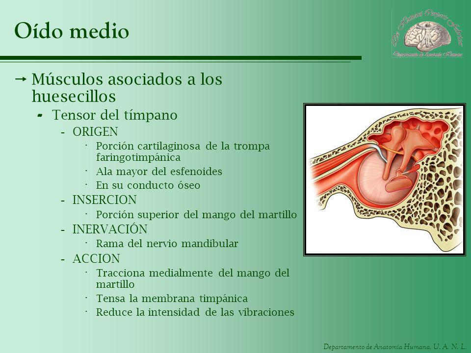 Departamento de Anatomía Humana, U. A. N. L. Oído medio Músculos asociados a los huesecillos - Tensor del tímpano -ORIGEN · Porción cartilaginosa de l