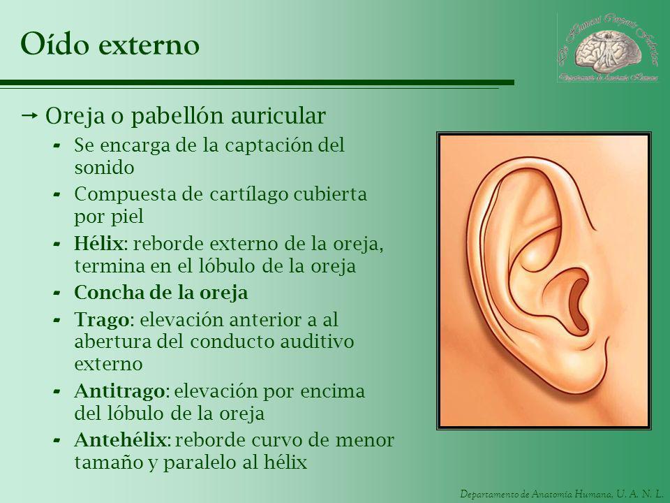 Departamento de Anatomía Humana, U. A. N. L. Oído externo Oreja o pabellón auricular - Se encarga de la captación del sonido - Compuesta de cartílago