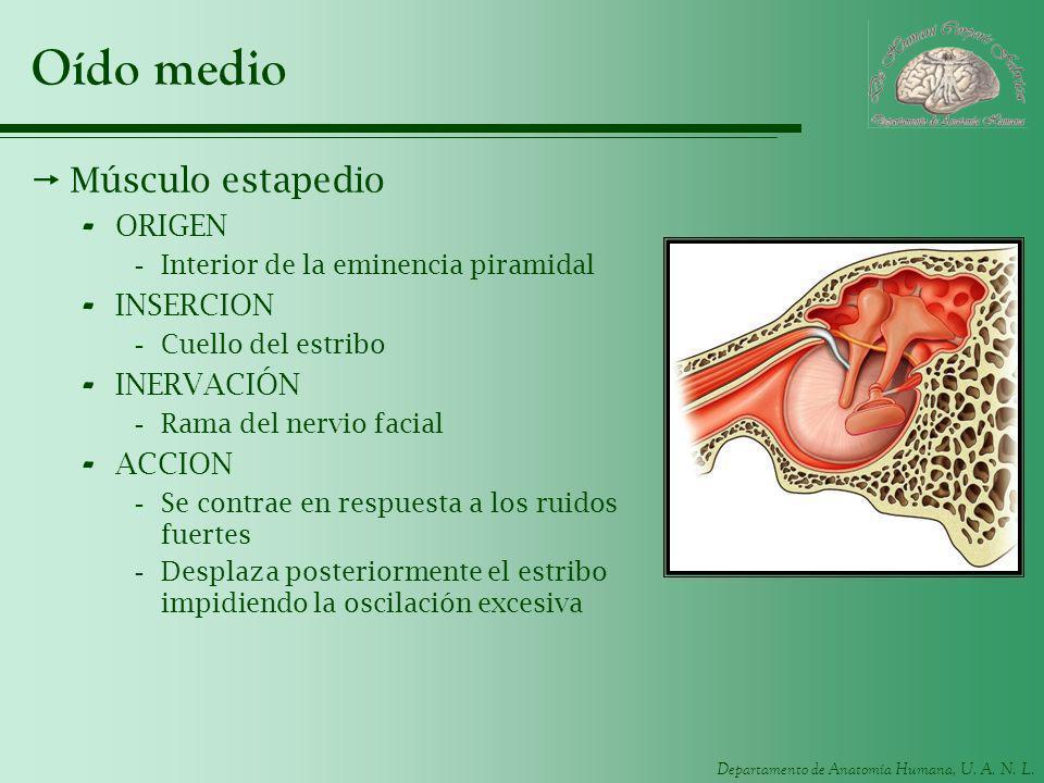 Departamento de Anatomía Humana, U. A. N. L. Oído medio Músculo estapedio - ORIGEN -Interior de la eminencia piramidal - INSERCION -Cuello del estribo