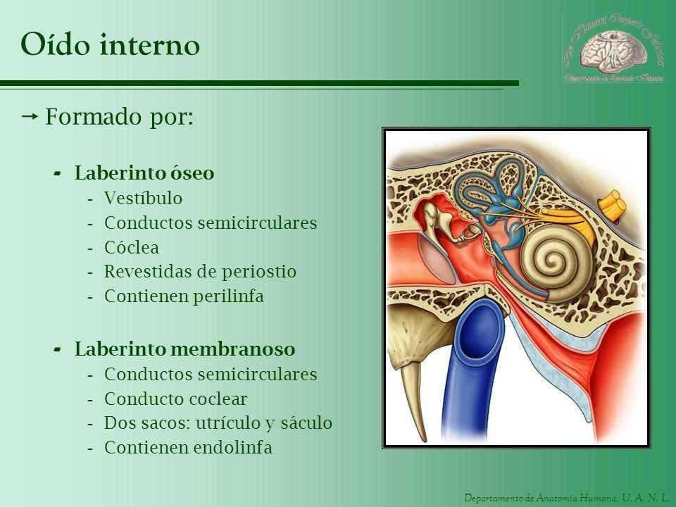 Departamento de Anatomía Humana, U. A. N. L. Oído interno Formado por: - Laberinto óseo -Vestíbulo -Conductos semicirculares -Cóclea -Revestidas de pe