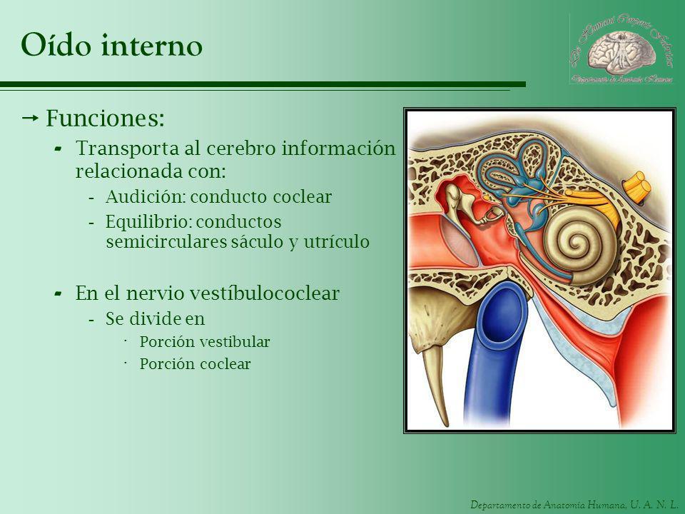 Departamento de Anatomía Humana, U. A. N. L. Oído interno Funciones: - Transporta al cerebro información relacionada con: -Audición: conducto coclear