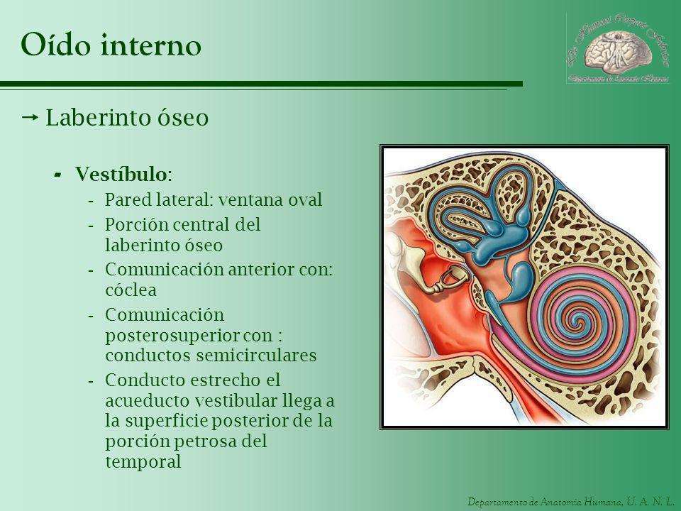 Departamento de Anatomía Humana, U. A. N. L. Oído interno Laberinto óseo - Vestíbulo: -Pared lateral: ventana oval -Porción central del laberinto óseo