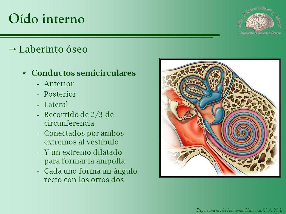 Departamento de Anatomía Humana, U. A. N. L. Oído interno Laberinto óseo - Conductos semicirculares -Anterior -Posterior -Lateral -Recorrido de 2/3 de