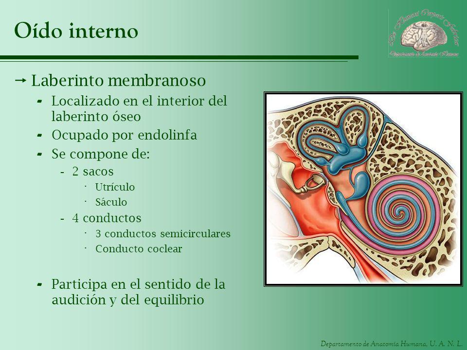 Departamento de Anatomía Humana, U. A. N. L. Oído interno Laberinto membranoso - Localizado en el interior del laberinto óseo - Ocupado por endolinfa
