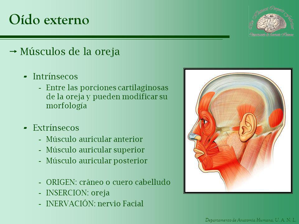Departamento de Anatomía Humana, U. A. N. L. Oído externo Músculos de la oreja - Intrínsecos -Entre las porciones cartilaginosas de la oreja y pueden