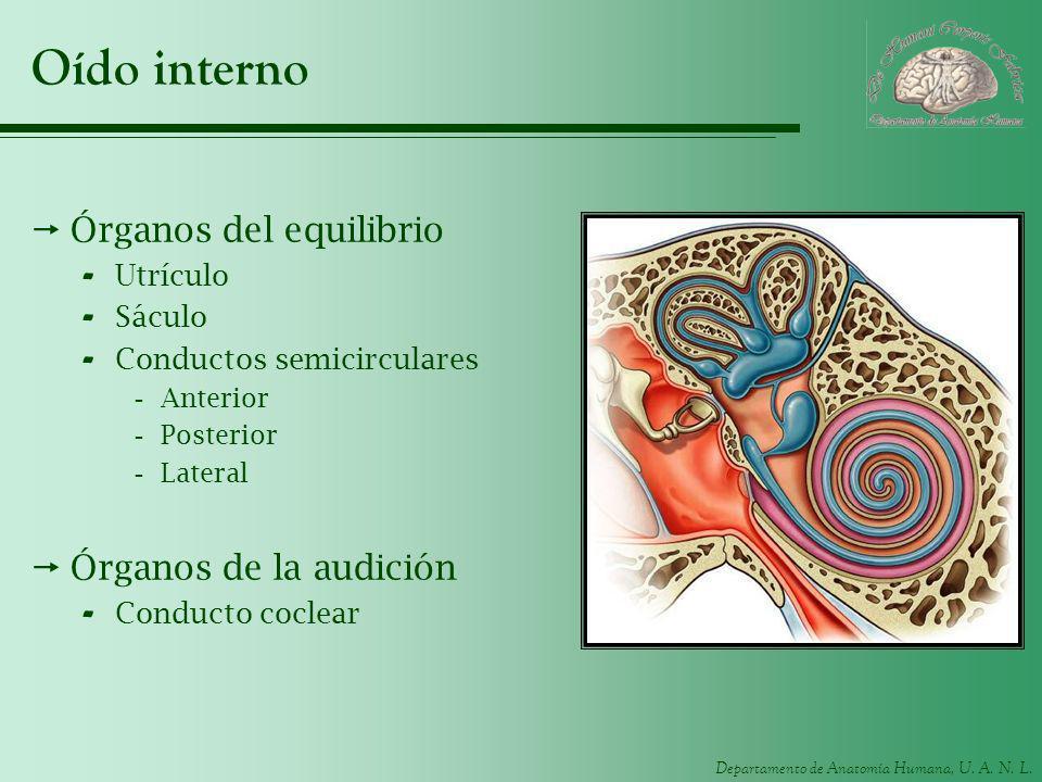 Departamento de Anatomía Humana, U. A. N. L. Oído interno Órganos del equilibrio - Utrículo - Sáculo - Conductos semicirculares -Anterior -Posterior -
