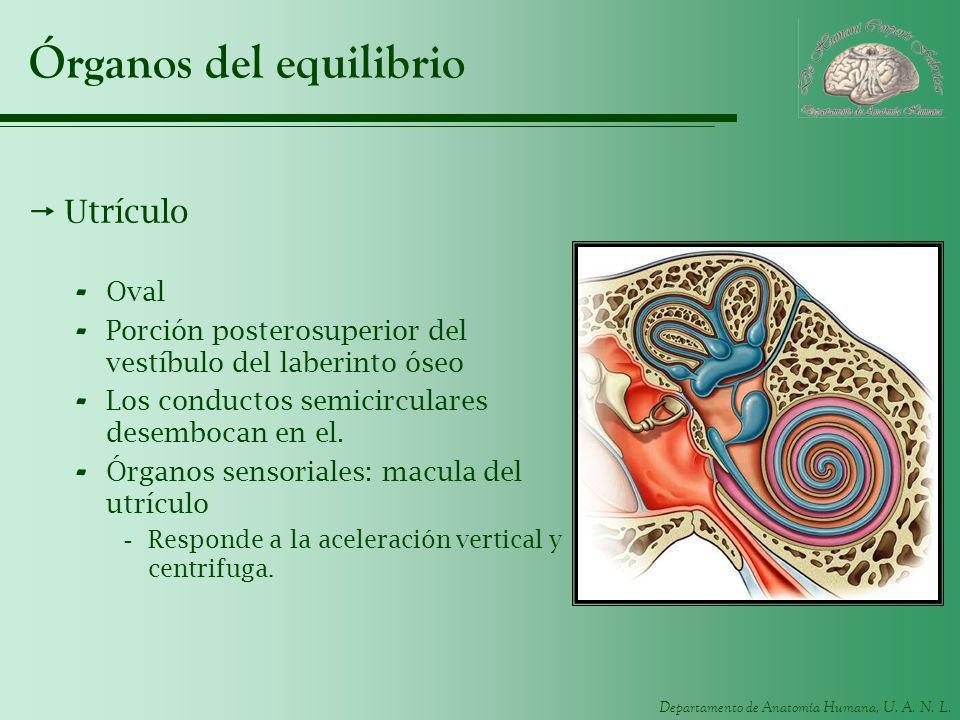 Departamento de Anatomía Humana, U. A. N. L. Órganos del equilibrio Utrículo - Oval - Porción posterosuperior del vestíbulo del laberinto óseo - Los c