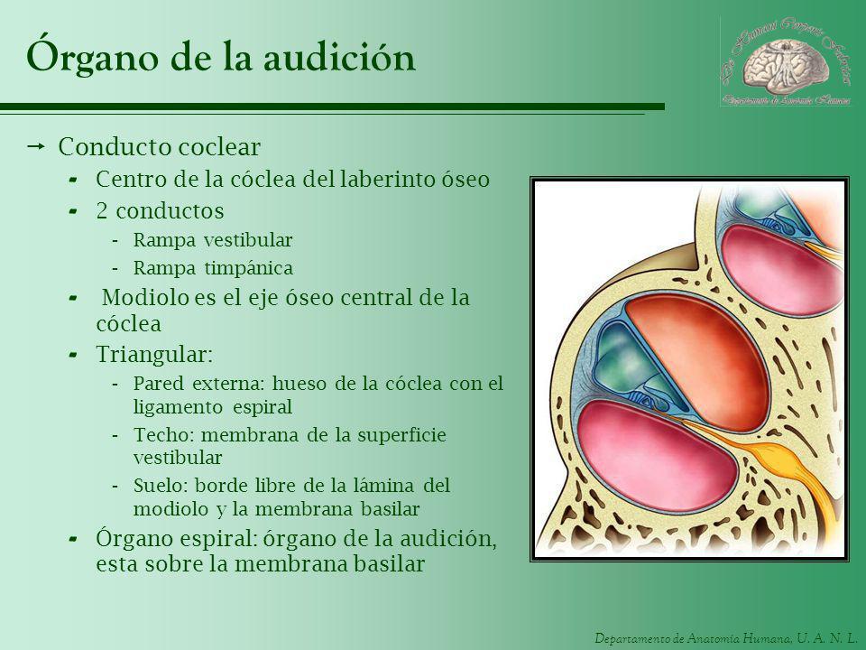 Departamento de Anatomía Humana, U. A. N. L. Órgano de la audición Conducto coclear - Centro de la cóclea del laberinto óseo - 2 conductos -Rampa vest