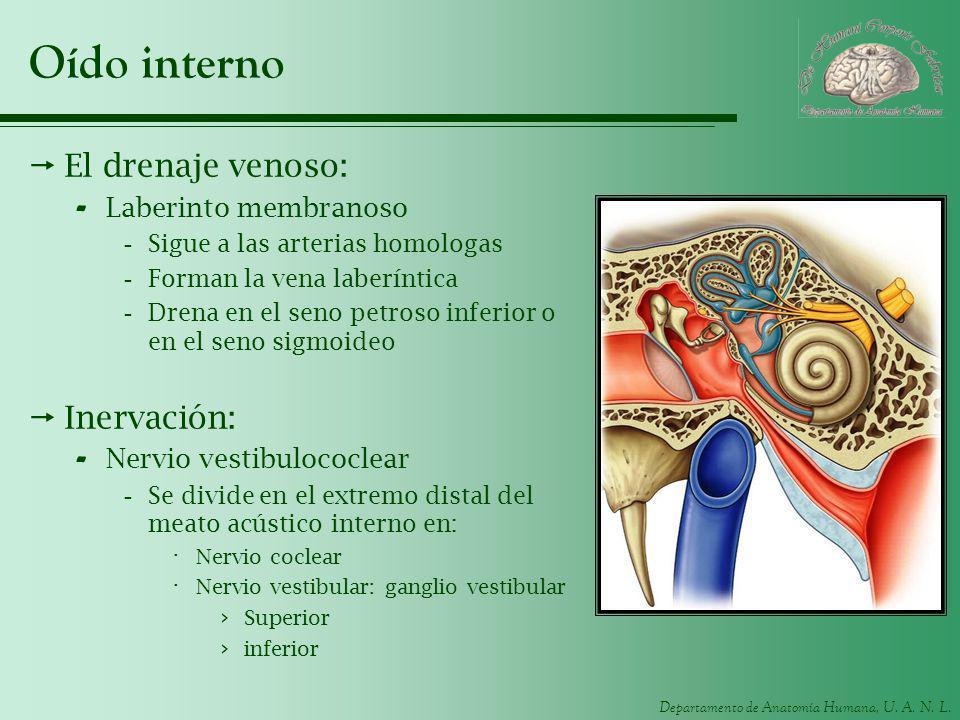 Departamento de Anatomía Humana, U. A. N. L. Oído interno El drenaje venoso: - Laberinto membranoso -Sigue a las arterias homologas -Forman la vena la