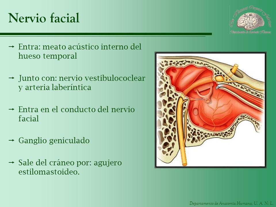 Departamento de Anatomía Humana, U. A. N. L. Nervio facial Entra: meato acústico interno del hueso temporal Junto con: nervio vestibulococlear y arter