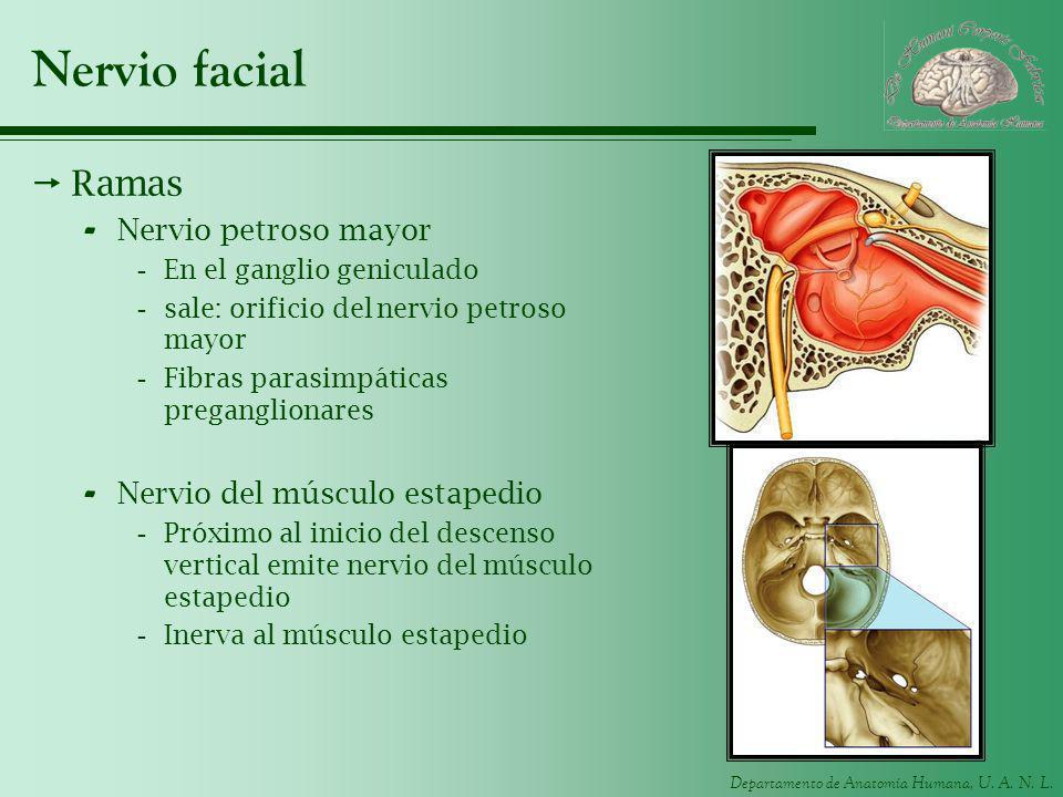 Departamento de Anatomía Humana, U. A. N. L. Nervio facial Ramas - Nervio petroso mayor -En el ganglio geniculado -sale: orificio del nervio petroso m