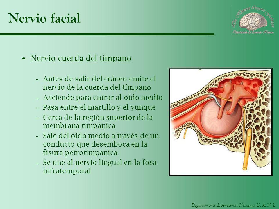 Departamento de Anatomía Humana, U. A. N. L. Nervio facial - Nervio cuerda del tímpano -Antes de salir del cráneo emite el nervio de la cuerda del tím