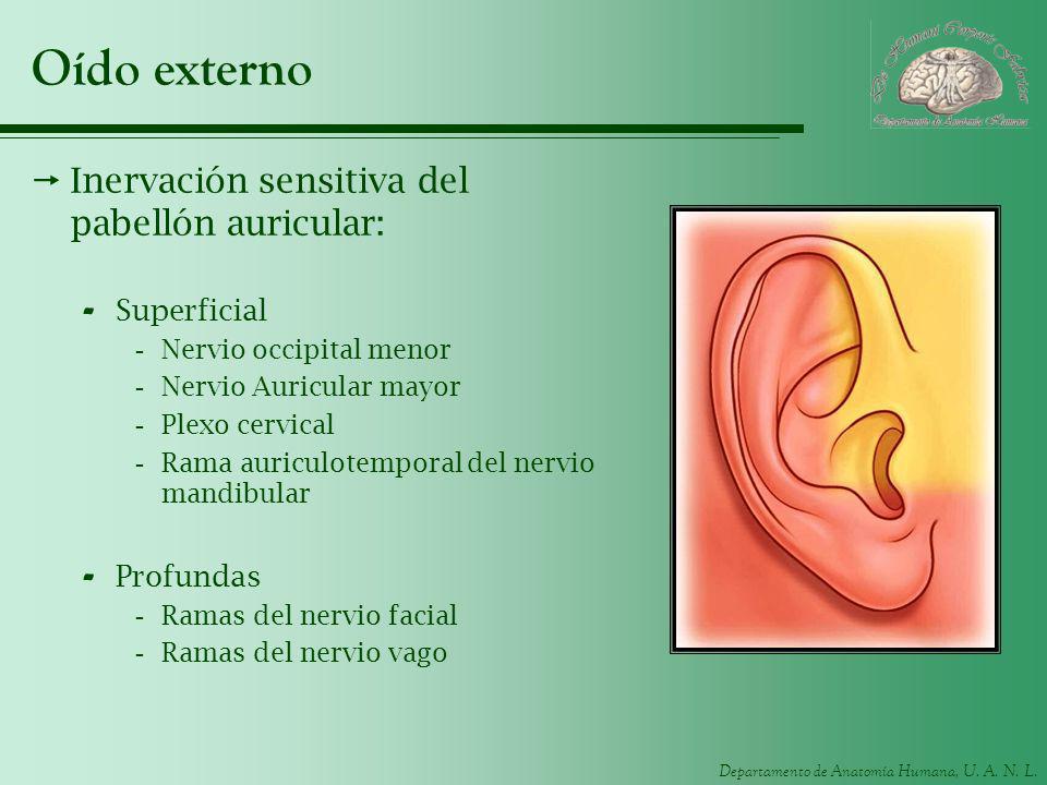Departamento de Anatomía Humana, U. A. N. L. Oído externo Inervación sensitiva del pabellón auricular: - Superficial -Nervio occipital menor -Nervio A