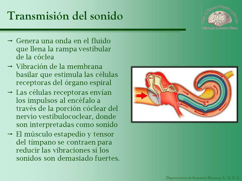 Departamento de Anatomía Humana, U. A. N. L. Transmisión del sonido Genera una onda en el fluido que llena la rampa vestibular de la cóclea Vibración