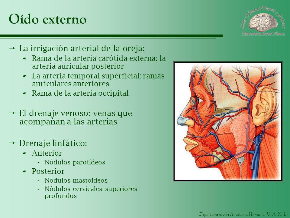 Departamento de Anatomía Humana, U. A. N. L. Oído externo La irrigación arterial de la oreja: - Rama de la arteria carótida externa: la arteria auricu