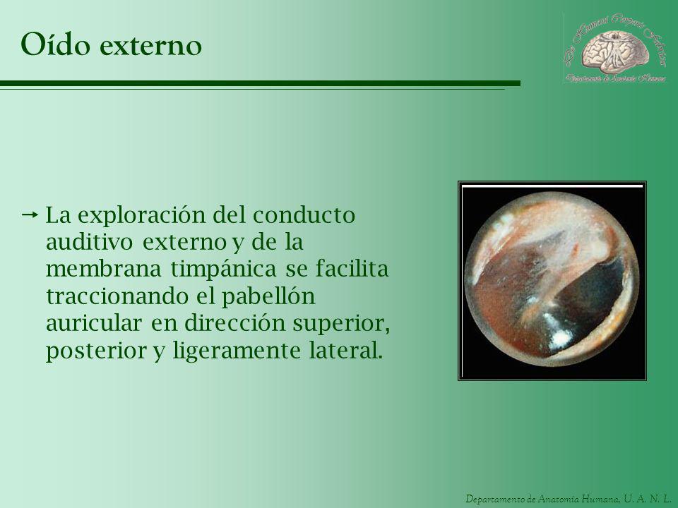 Departamento de Anatomía Humana, U. A. N. L. Oído externo La exploración del conducto auditivo externo y de la membrana timpánica se facilita traccion