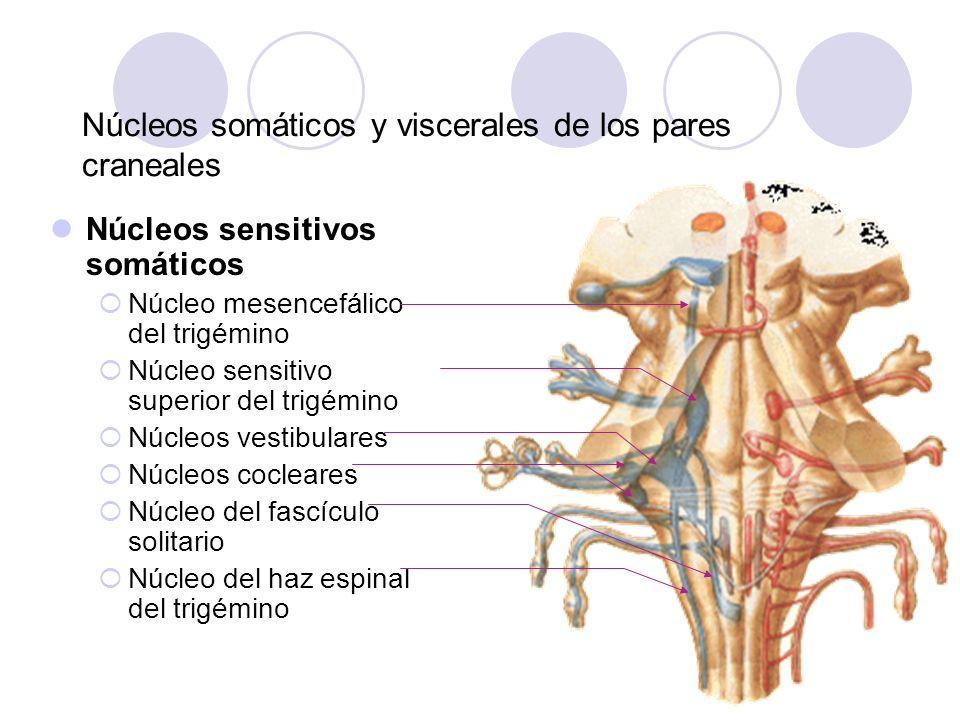 Núcleos sensitivos somáticos Núcleo mesencefálico del trigémino Núcleo sensitivo superior del trigémino Núcleos vestibulares Núcleos cocleares Núcleo