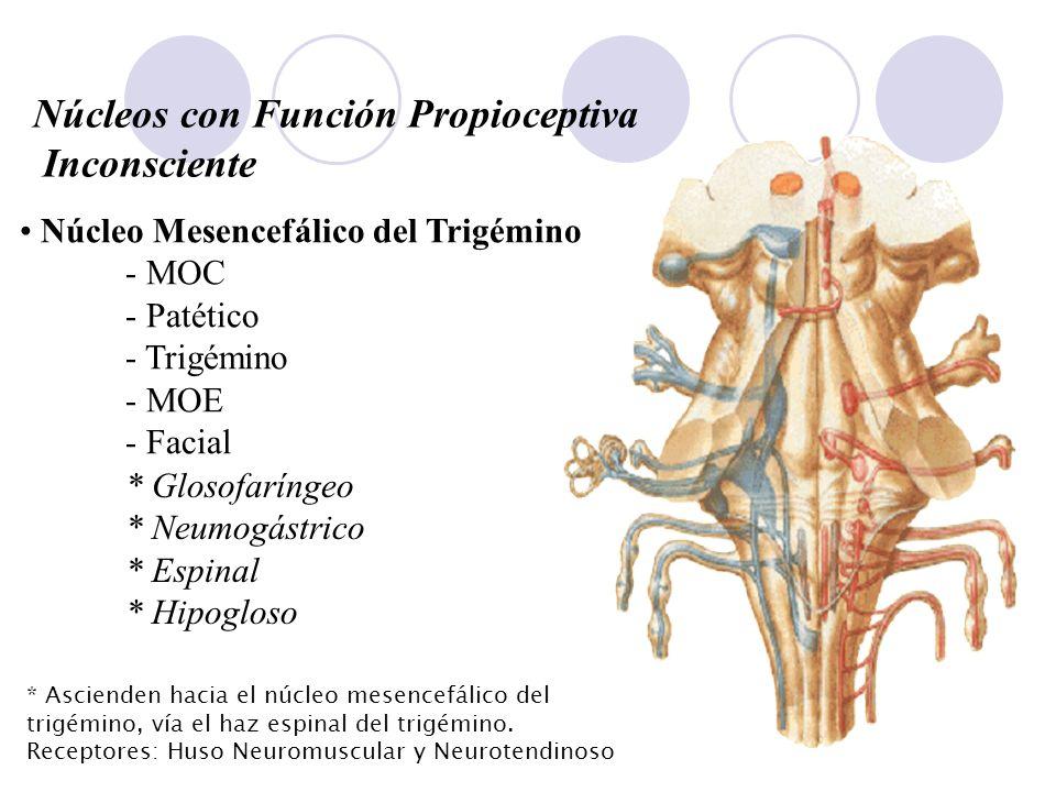 Núcleos con Función Propioceptiva Inconsciente Núcleo Mesencefálico del Trigémino - MOC - Patético - Trigémino - MOE - Facial * Glosofaríngeo * Neumog