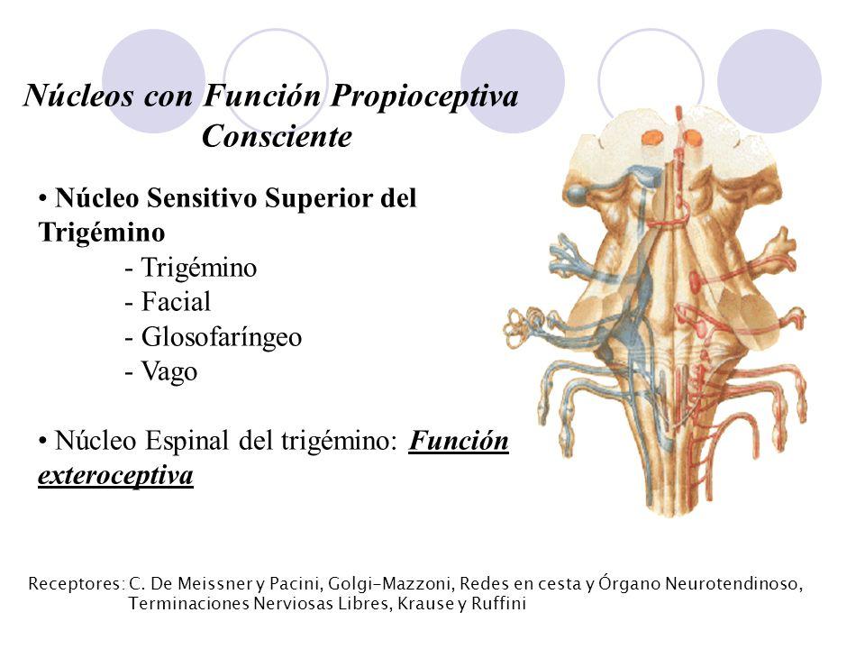 Núcleos con Función Propioceptiva Consciente Núcleo Sensitivo Superior del Trigémino - Trigémino - Facial - Glosofaríngeo - Vago Núcleo Espinal del tr