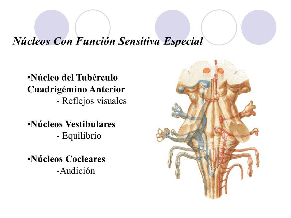 Núcleos Con Función Sensitiva Especial Núcleo del Tubérculo Cuadrigémino Anterior - Reflejos visuales Núcleos Vestibulares - Equilibrio Núcleos Coclea