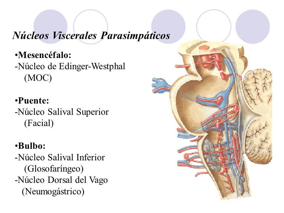 Núcleos Viscerales Parasimpáticos Mesencéfalo: -Núcleo de Edinger-Westphal (MOC) Puente: -Núcleo Salival Superior (Facial) Bulbo: -Núcleo Salival Infe