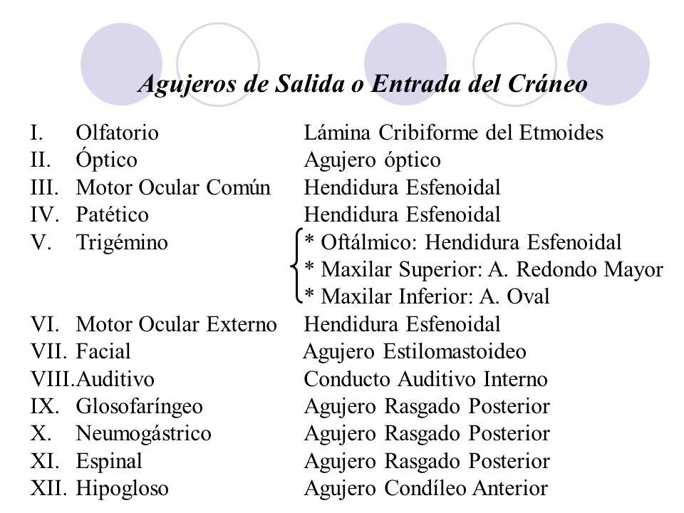 Agujeros de Salida o Entrada del Cráneo I.OlfatorioLámina Cribiforme del Etmoides II.ÓpticoAgujero óptico III.Motor Ocular ComúnHendidura Esfenoidal I