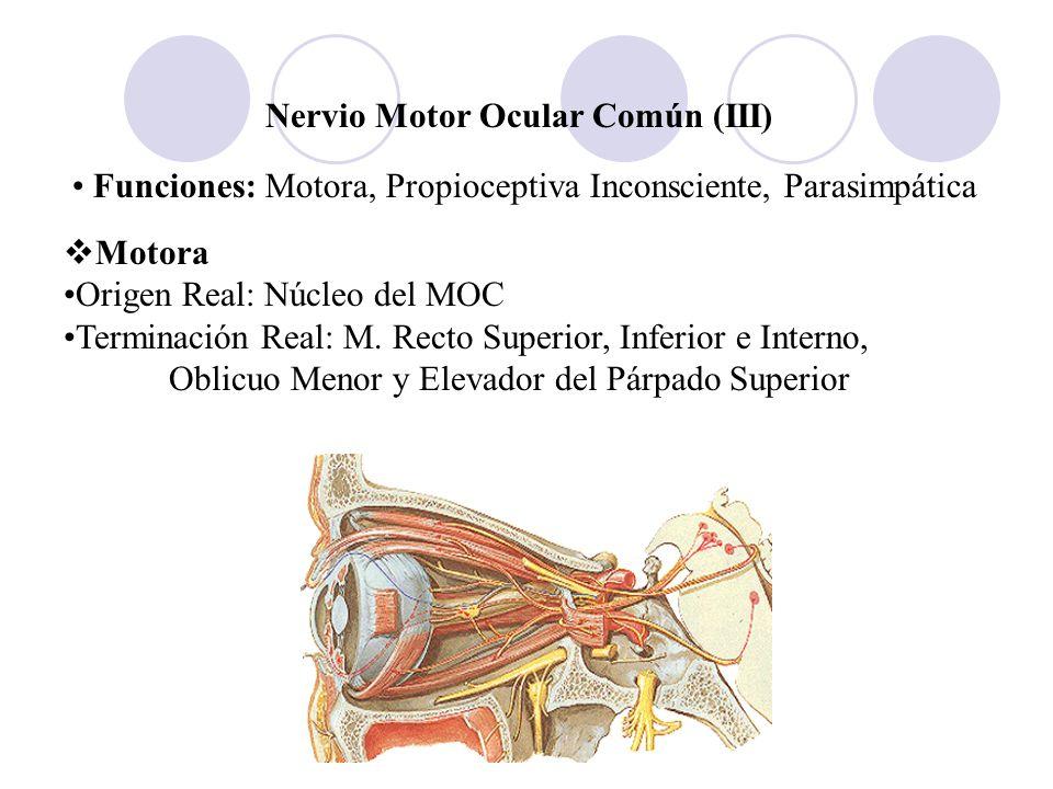Nervio Motor Ocular Común (III) Funciones: Motora, Propioceptiva Inconsciente, Parasimpática Motora Origen Real: Núcleo del MOC Terminación Real: M. R