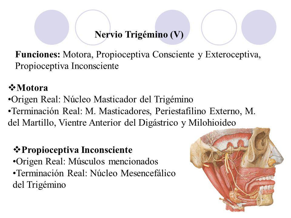 Nervio Trigémino (V) Funciones: Motora, Propioceptiva Consciente y Exteroceptiva, Propioceptiva Inconsciente Motora Origen Real: Núcleo Masticador del
