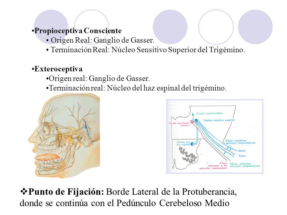 Propioceptiva Consciente Origen Real: Ganglio de Gasser. Terminación Real: Núcleo Sensitivo Superior del Trigémino. Exteroceptiva Origen real: Ganglio