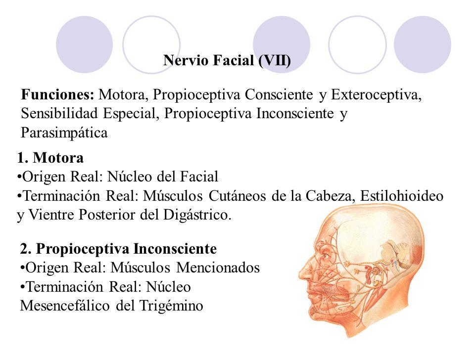 Nervio Facial (VII) Funciones: Motora, Propioceptiva Consciente y Exteroceptiva, Sensibilidad Especial, Propioceptiva Inconsciente y Parasimpática 1.