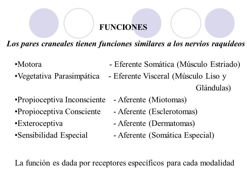FUNCIONES Los pares craneales tienen funciones similares a los nervios raquídeos Motora - Eferente Somática (Músculo Estriado) Vegetativa Parasimpátic