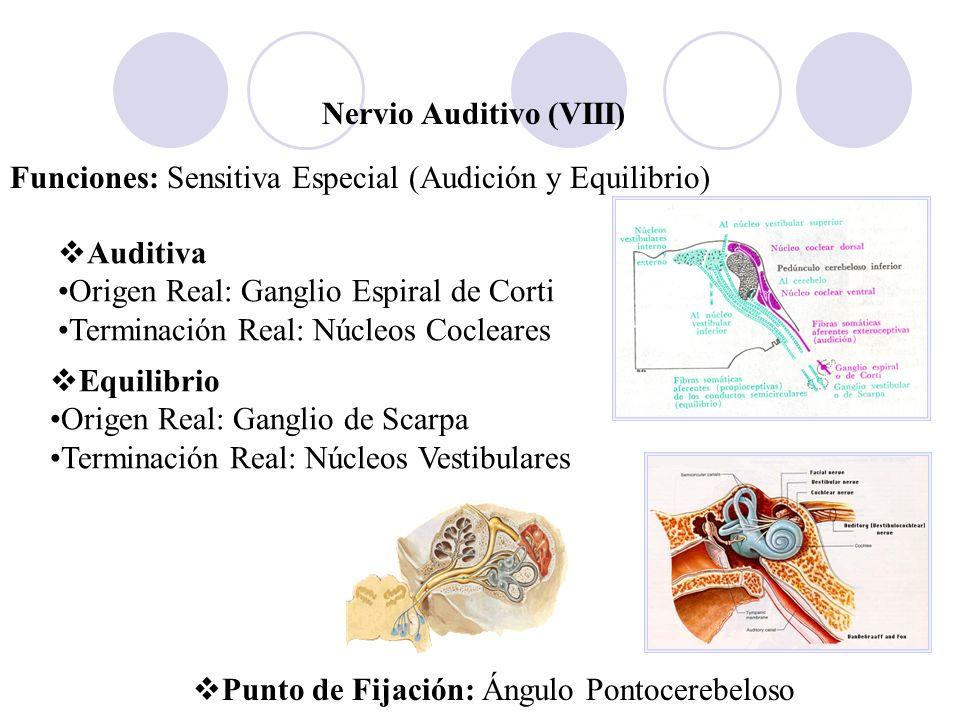 Nervio Auditivo (VIII) Funciones: Sensitiva Especial (Audición y Equilibrio) Auditiva Origen Real: Ganglio Espiral de Corti Terminación Real: Núcleos