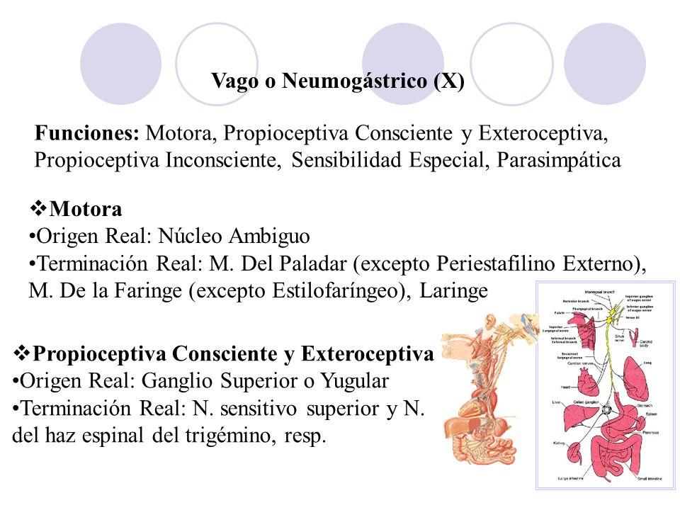 Vago o Neumogástrico (X) Funciones: Motora, Propioceptiva Consciente y Exteroceptiva, Propioceptiva Inconsciente, Sensibilidad Especial, Parasimpática