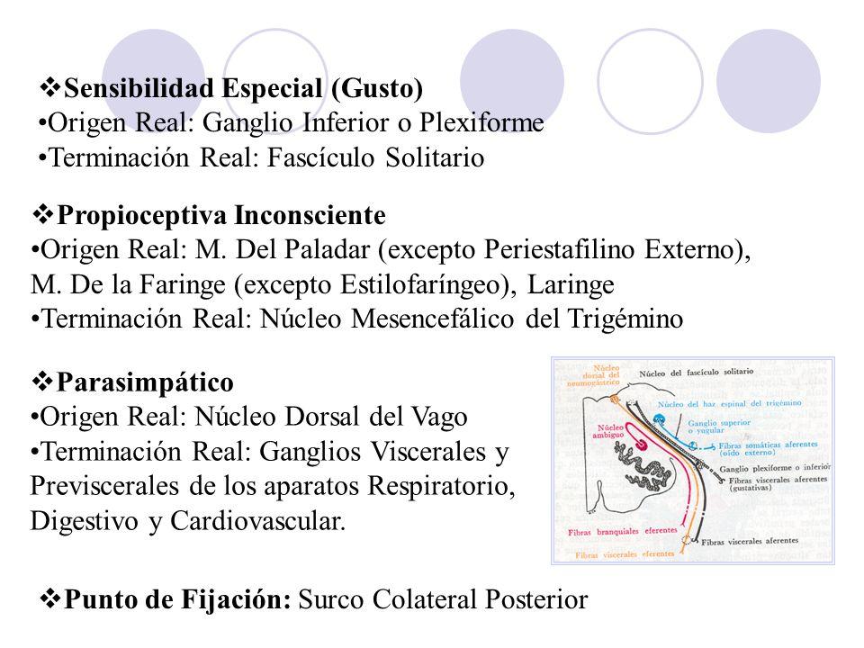 Propioceptiva Inconsciente Origen Real: M. Del Paladar (excepto Periestafilino Externo), M. De la Faringe (excepto Estilofaríngeo), Laringe Terminació