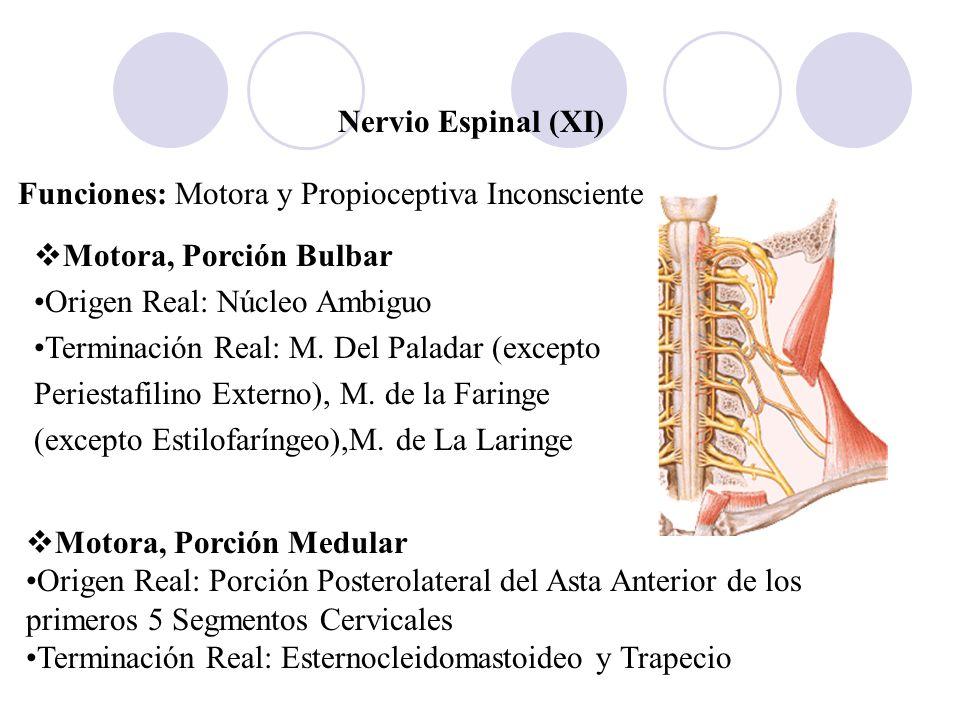 Nervio Espinal (XI) Funciones: Motora y Propioceptiva Inconsciente Motora, Porción Bulbar Origen Real: Núcleo Ambiguo Terminación Real: M. Del Paladar