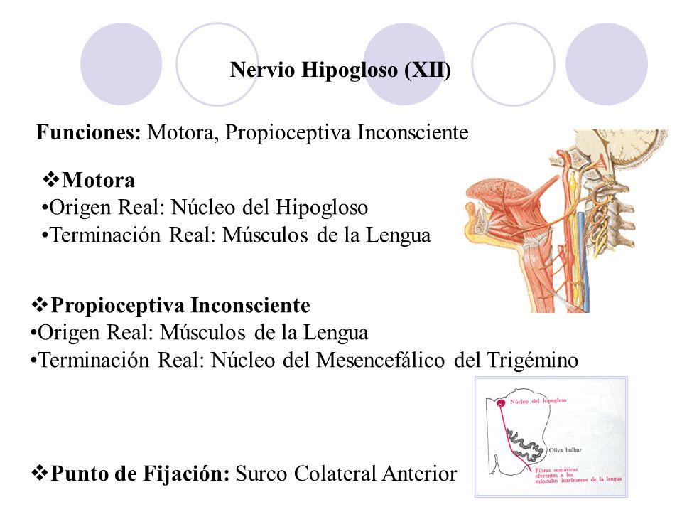 Nervio Hipogloso (XII) Funciones: Motora, Propioceptiva Inconsciente Motora Origen Real: Núcleo del Hipogloso Terminación Real: Músculos de la Lengua