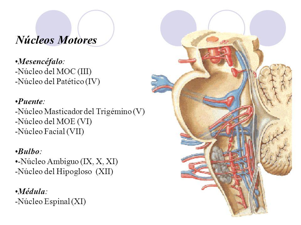 Núcleos Motores Mesencéfalo: -Núcleo del MOC (III) -Núcleo del Patético (IV) Puente: -Núcleo Masticador del Trigémino (V) -Núcleo del MOE (VI) -Núcleo