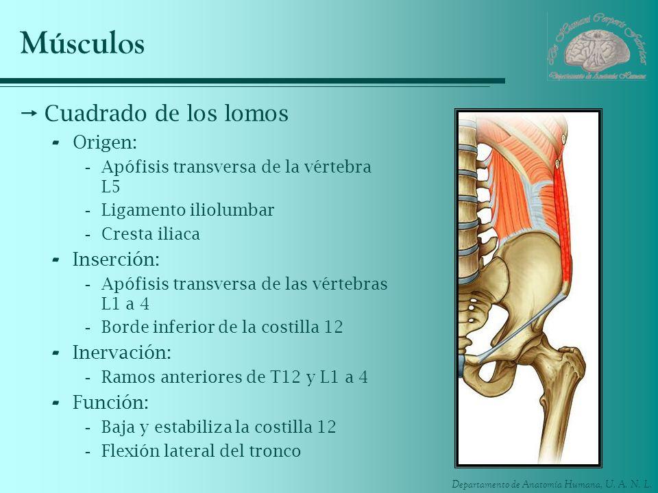 Departamento de Anatomía Humana, U. A. N. L. Músculos Cuadrado de los lomos - Origen: -Apófisis transversa de la vértebra L5 -Ligamento iliolumbar -Cr