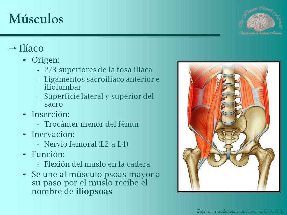 Departamento de Anatomía Humana, U. A. N. L. Músculos Ilíaco - Origen: -2/3 superiores de la fosa iliaca -Ligamentos sacroilíaco anterior e iliolumbar