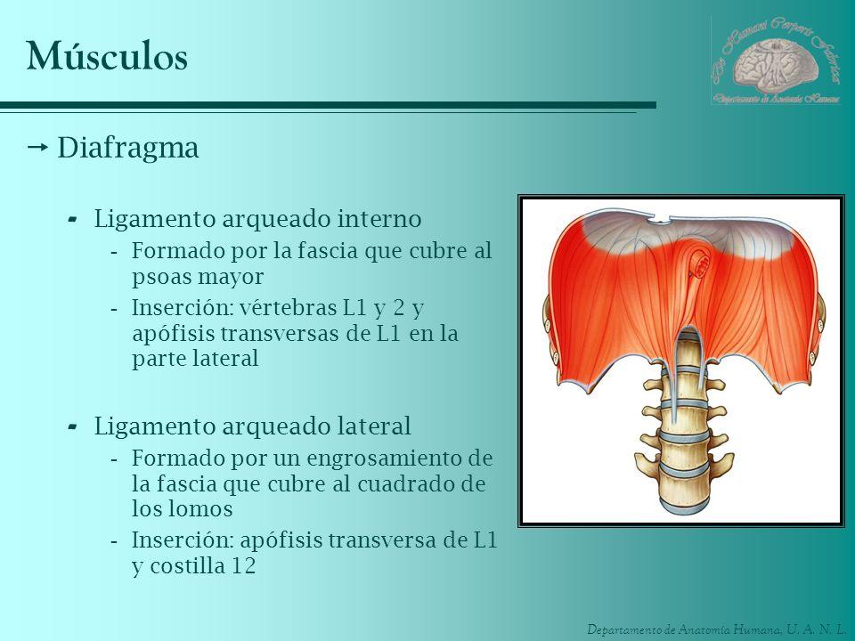 Departamento de Anatomía Humana, U. A. N. L. Músculos Diafragma - Ligamento arqueado interno -Formado por la fascia que cubre al psoas mayor -Inserció