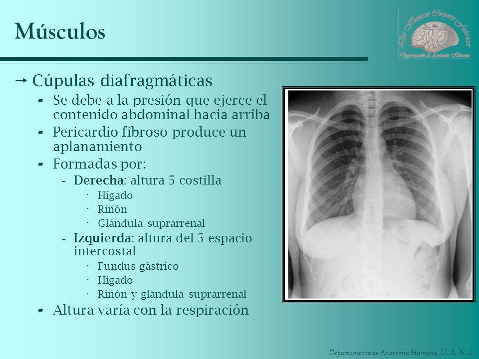 Departamento de Anatomía Humana, U. A. N. L. Músculos Cúpulas diafragmáticas - Se debe a la presión que ejerce el contenido abdominal hacia arriba - P