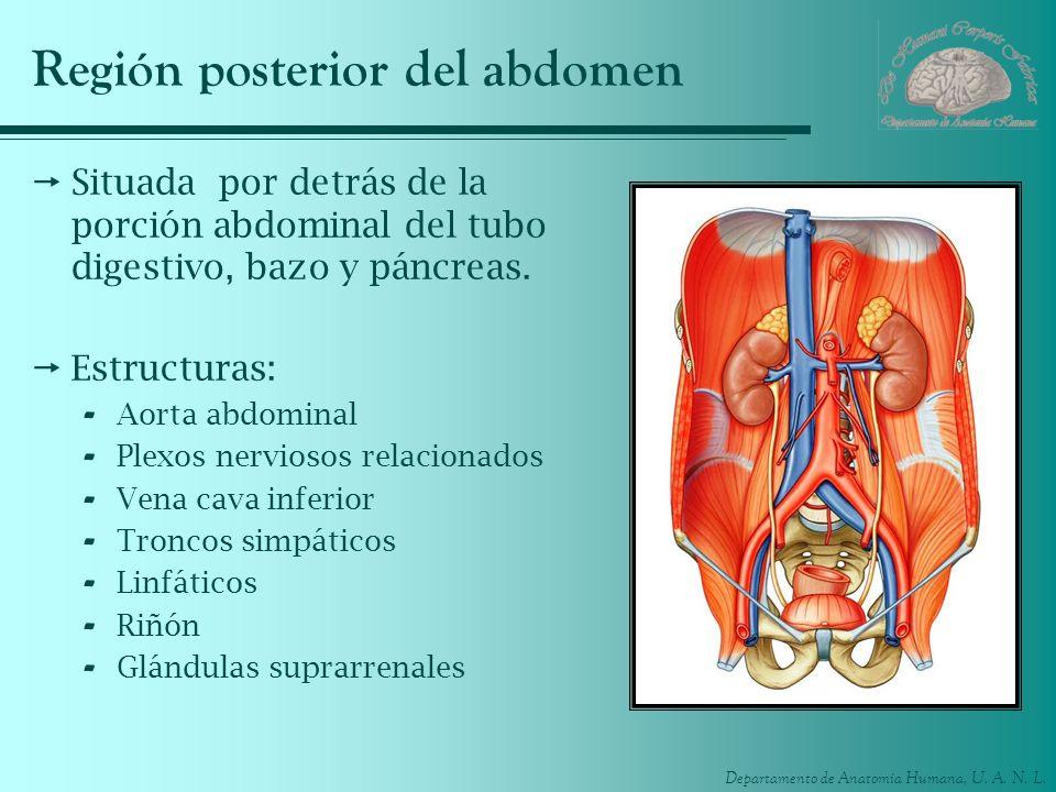 Departamento de Anatomía Humana, U. A. N. L. Región posterior del abdomen Situada por detrás de la porción abdominal del tubo digestivo, bazo y páncre
