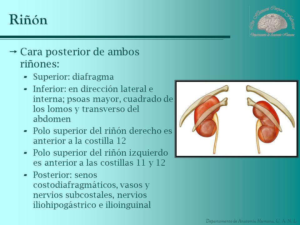 Departamento de Anatomía Humana, U. A. N. L. Riñón Cara posterior de ambos riñones: - Superior: diafragma - Inferior: en dirección lateral e interna;