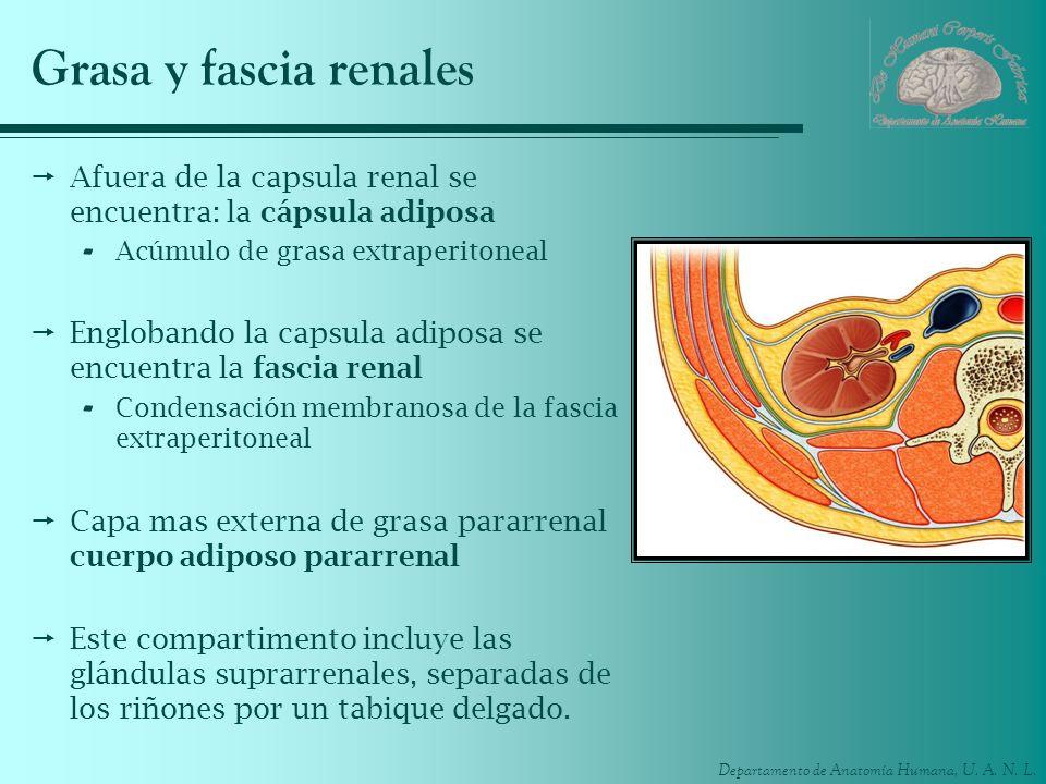 Departamento de Anatomía Humana, U. A. N. L. Grasa y fascia renales Afuera de la capsula renal se encuentra: la cápsula adiposa - Acúmulo de grasa ext