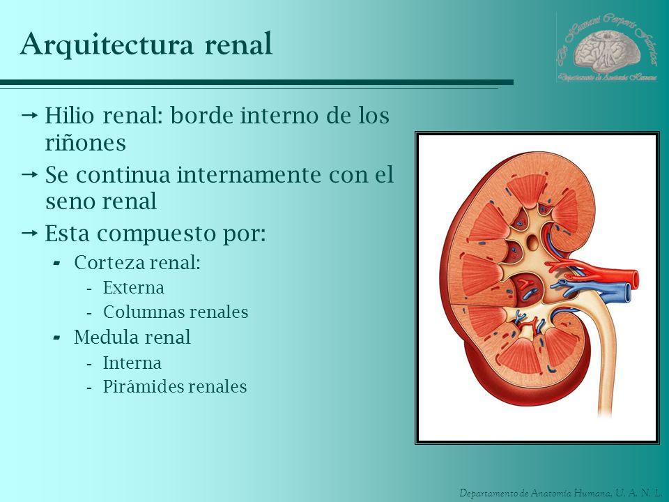 Departamento de Anatomía Humana, U. A. N. L. Arquitectura renal Hilio renal: borde interno de los riñones Se continua internamente con el seno renal E