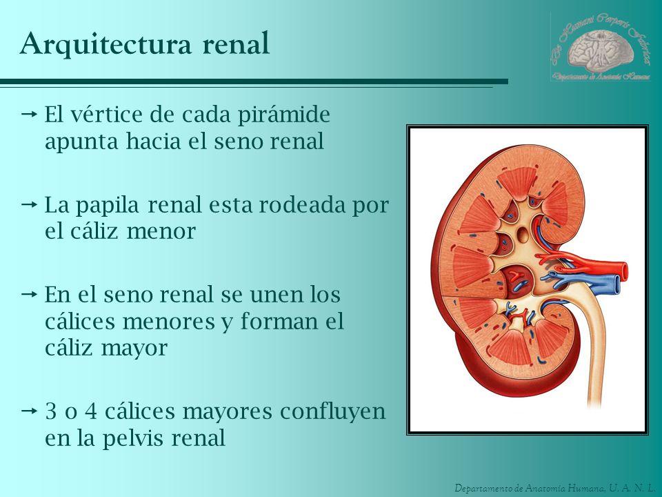 Departamento de Anatomía Humana, U. A. N. L. Arquitectura renal El vértice de cada pirámide apunta hacia el seno renal La papila renal esta rodeada po