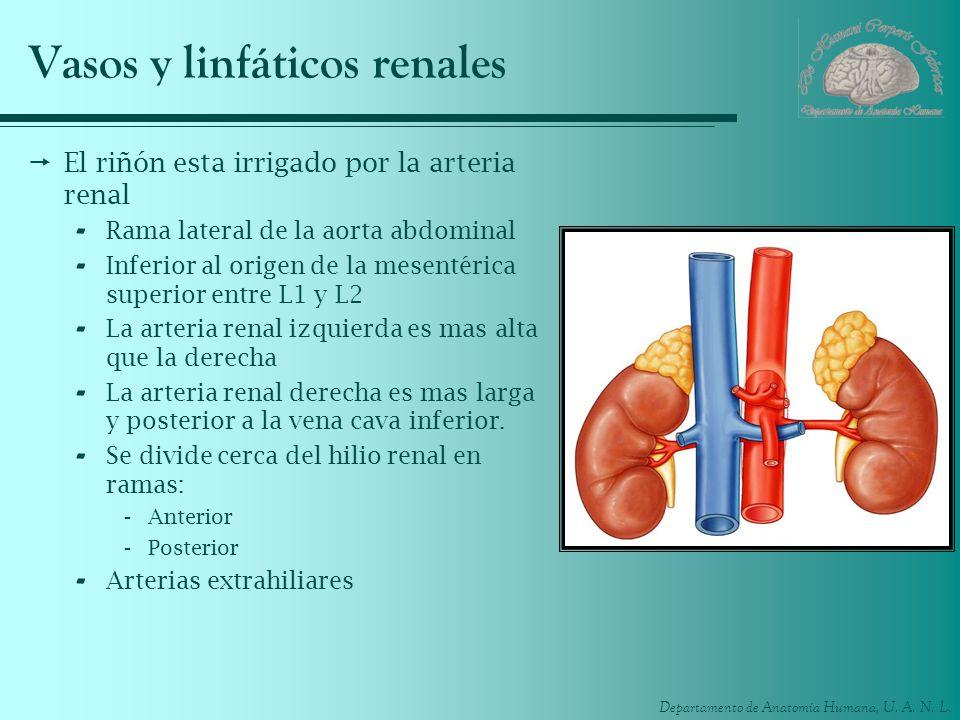 Departamento de Anatomía Humana, U. A. N. L. Vasos y linfáticos renales El riñón esta irrigado por la arteria renal - Rama lateral de la aorta abdomin