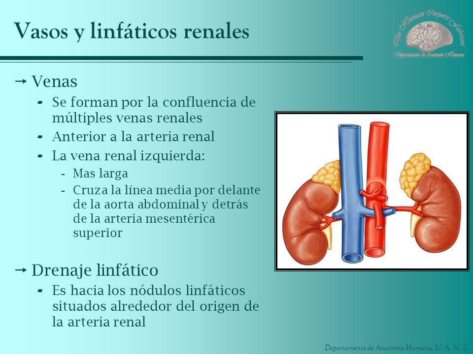 Departamento de Anatomía Humana, U. A. N. L. Vasos y linfáticos renales Venas - Se forman por la confluencia de múltiples venas renales - Anterior a l